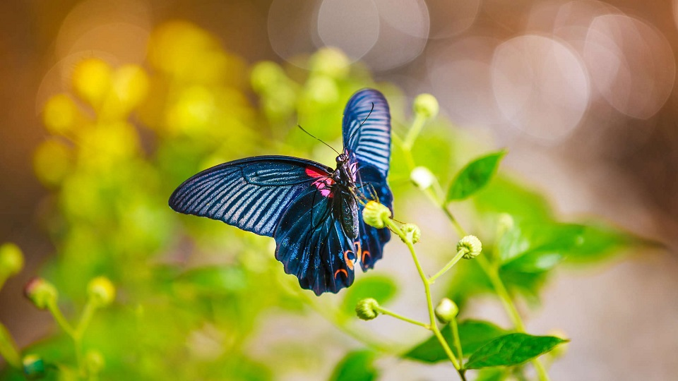 mariposa alas negras